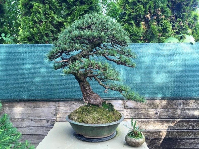 Pinus mugo 2004 - Page 4 Image11