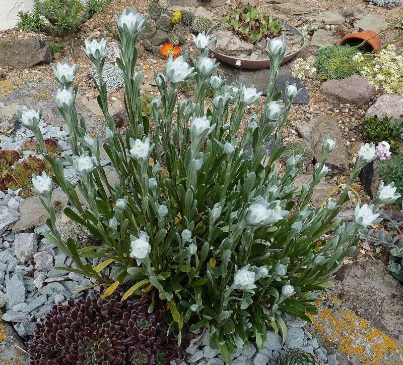 Edelweiss (Leontopodium) P1260429