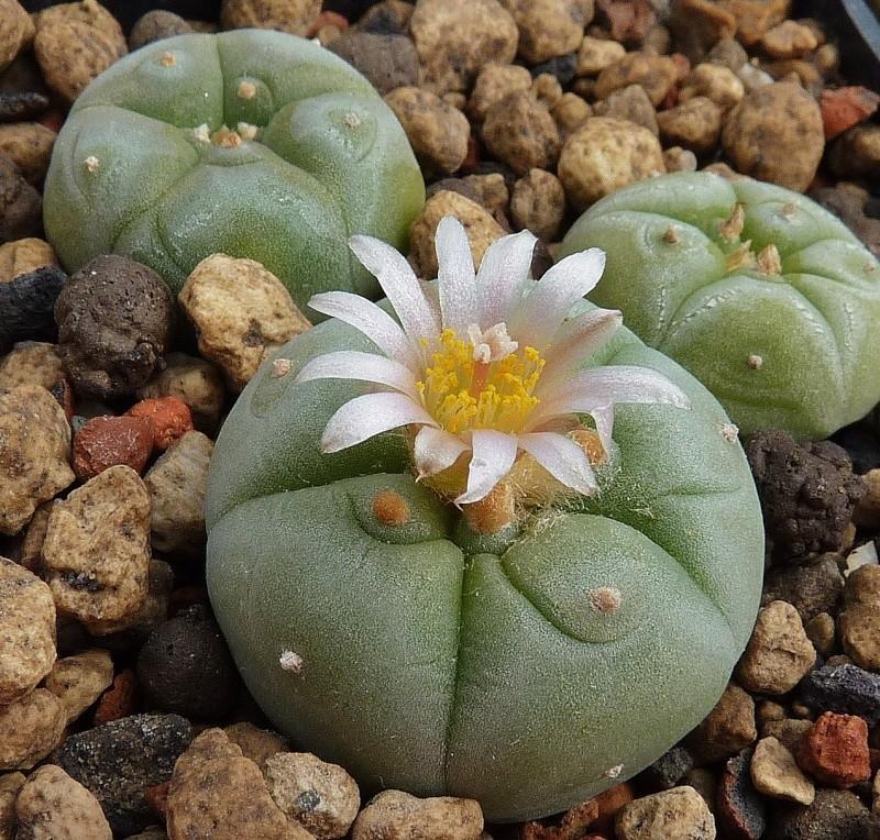 Lophophora fricii var. albiflora P1260517