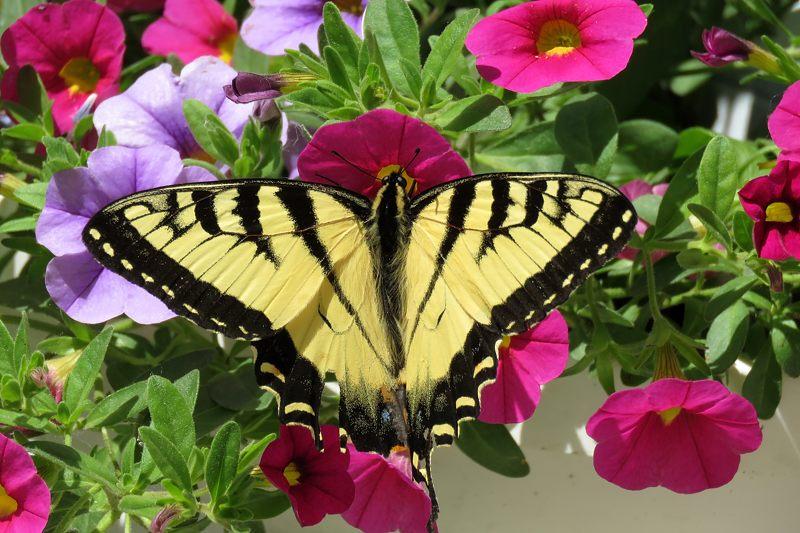 Papillon tigré du Canada 03-06-10
