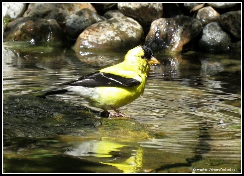 Chardonneret au bain 06-08-10
