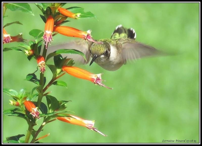 Colibri - nectar de fleur 13-08-10