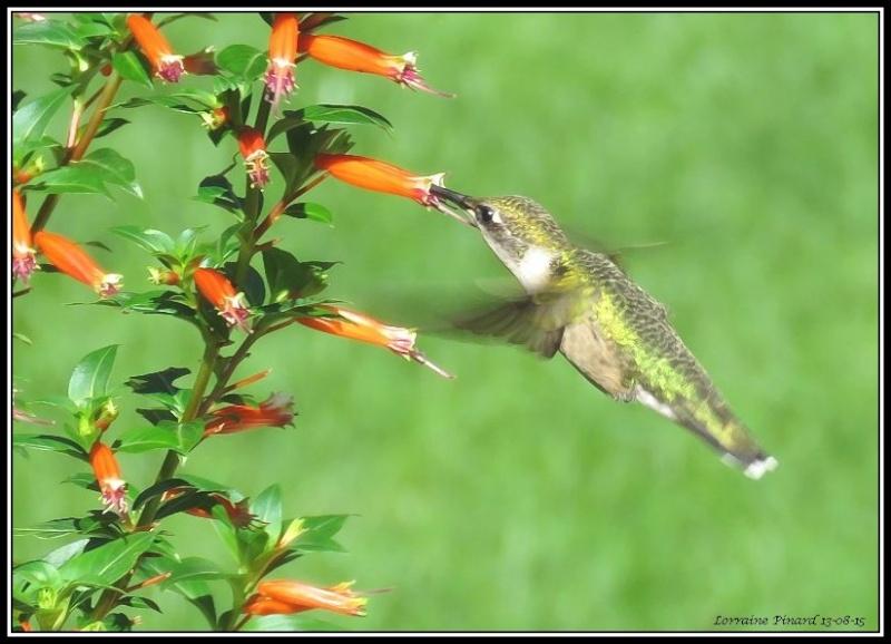 Colibri - nectar de fleur 13-08-11