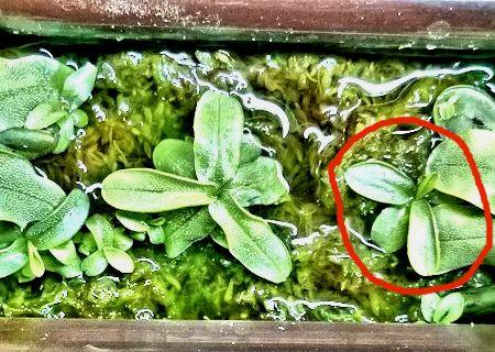Pinguicula primulifolia qui marche sur l'eau 03_15_10