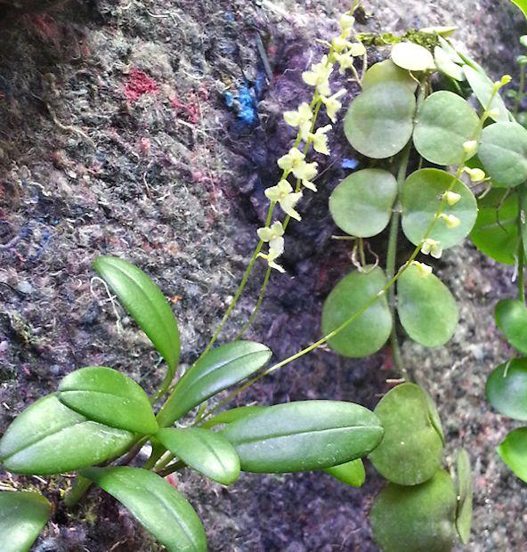 Un mur végétal dans ma serre salon - Page 2 1_sans10
