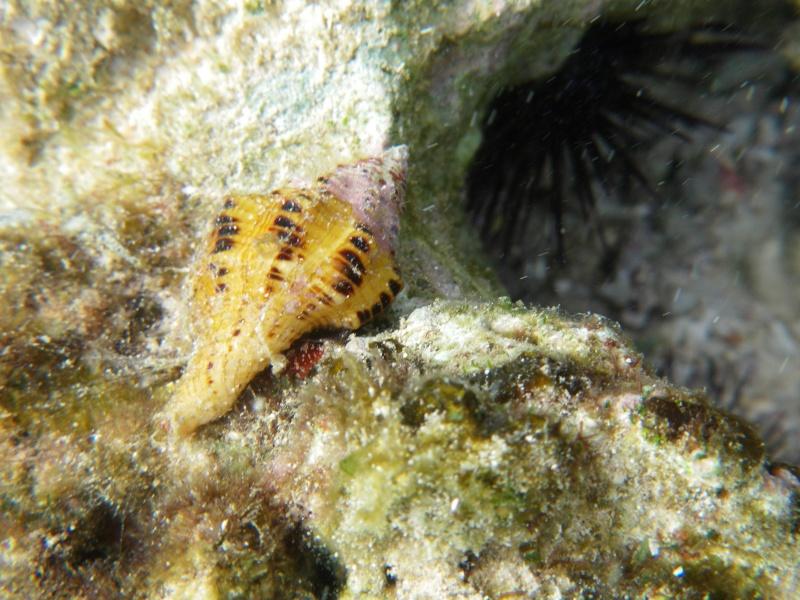 Coquille des Seychelles (Mahé) à identifier Imgp2210