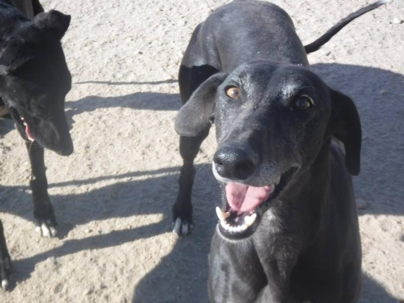 Raul ( Moro) galgo noir Adopté 10354010