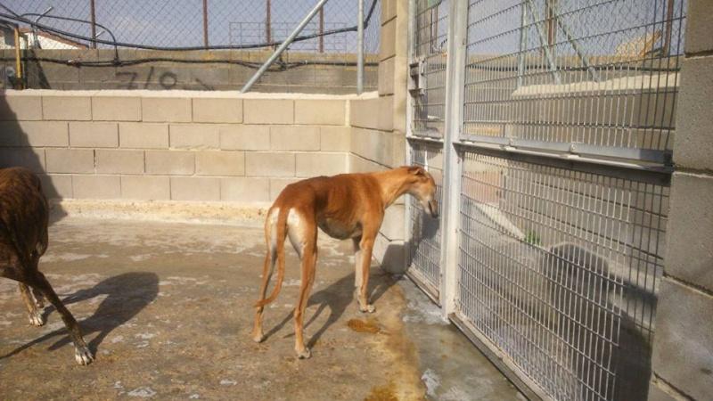 Mariposa , galga rousse de petite taille / Scooby France Adoptée  10672410