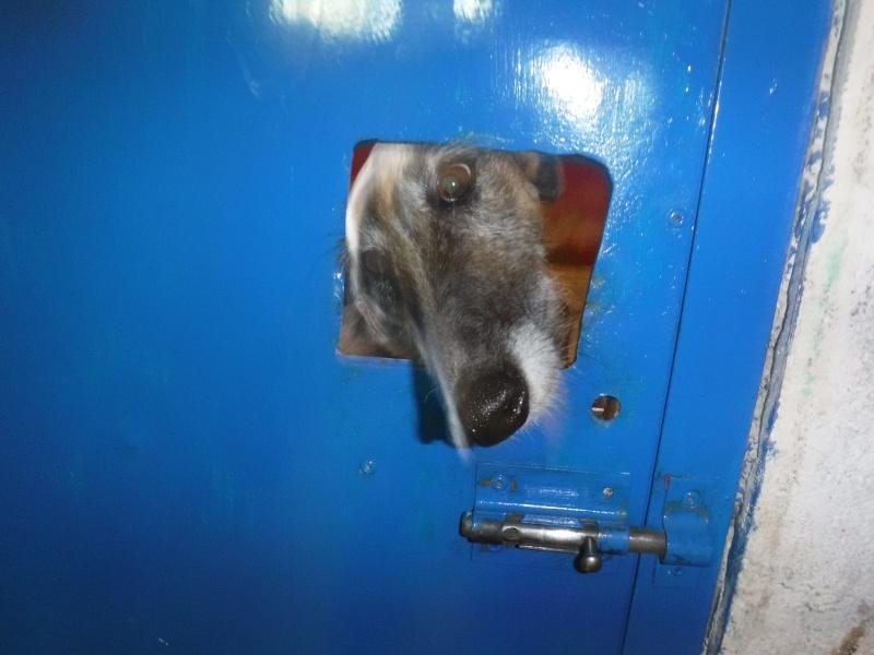 Campera, galga barbuda de petite taille, 3 ans Scooby France Adoptée  11270210
