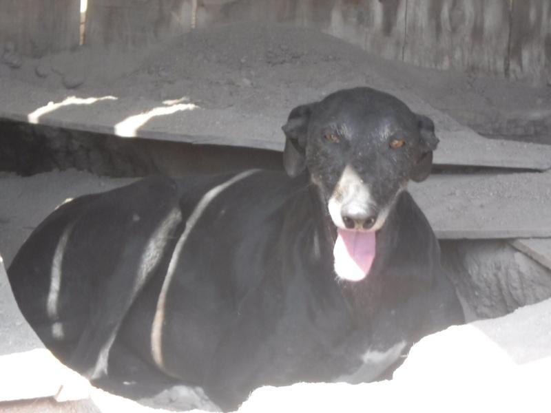 Raul ( Moro) galgo noir Adopté 11411811