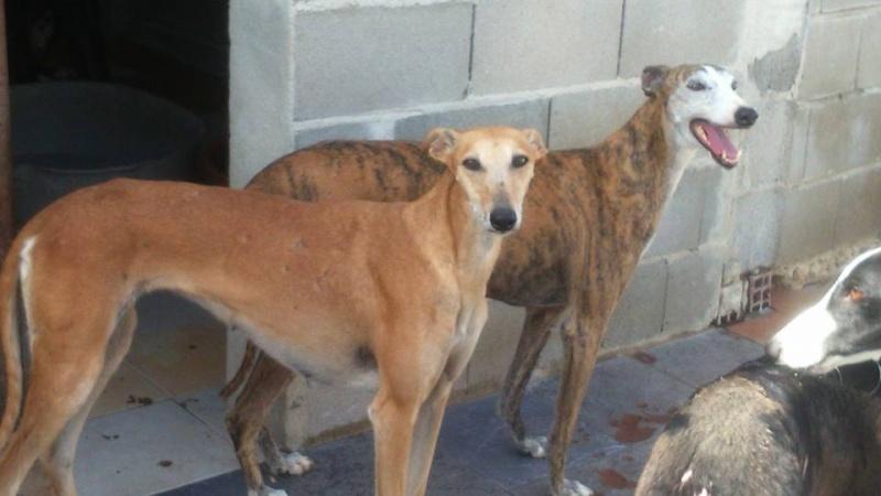Mariposa , galga rousse de petite taille / Scooby France Adoptée  11813212