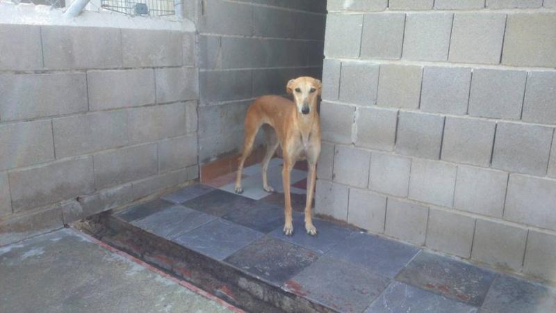 Mariposa , galga rousse de petite taille / Scooby France Adoptée  11831712