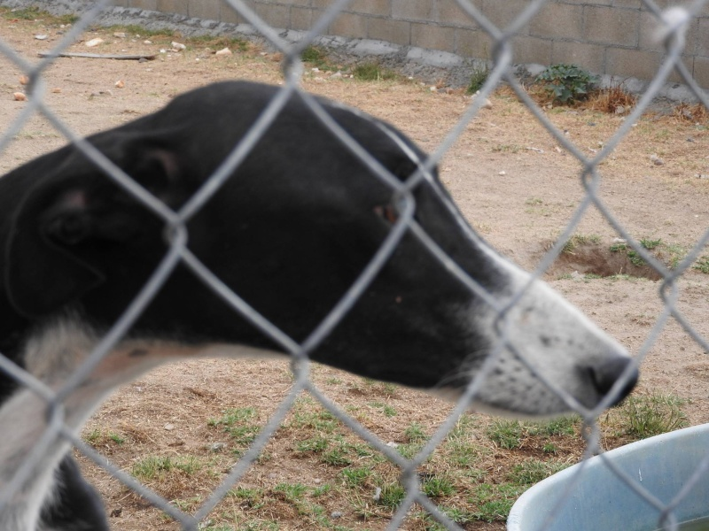 Natalia, galga noire et blanche, qui na pas 1 an  Scooby France Adoptée  11840210