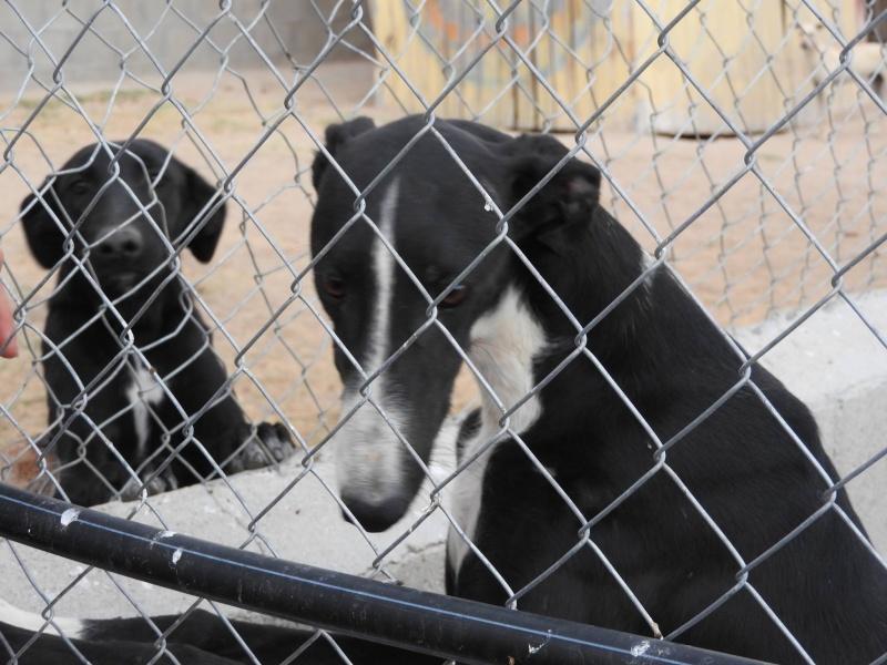 Natalia, galga noire et blanche, qui na pas 1 an  Scooby France Adoptée  11852810