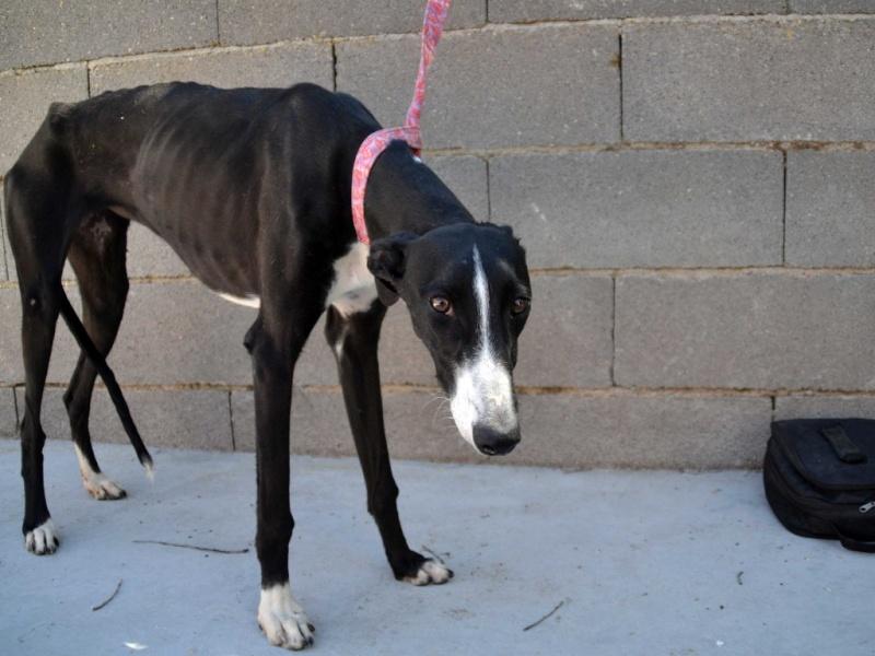 Natalia, galga noire et blanche, qui na pas 1 an  Scooby France Adoptée  Dsc_0027