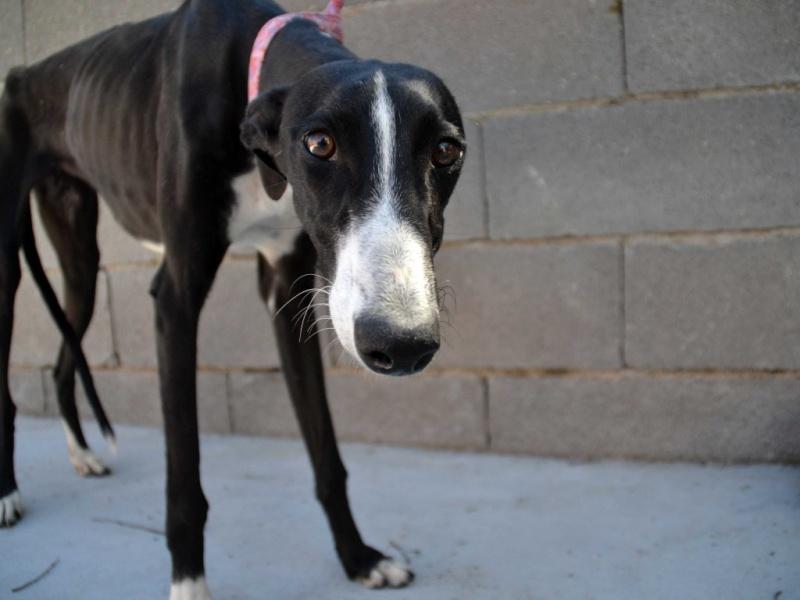 Natalia, galga noire et blanche, qui na pas 1 an  Scooby France Adoptée  Dsc_0028