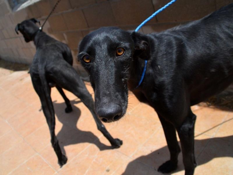 Perla, galga noire, 1 an 1/2  Scooby France Adoptée  Dsc_0224