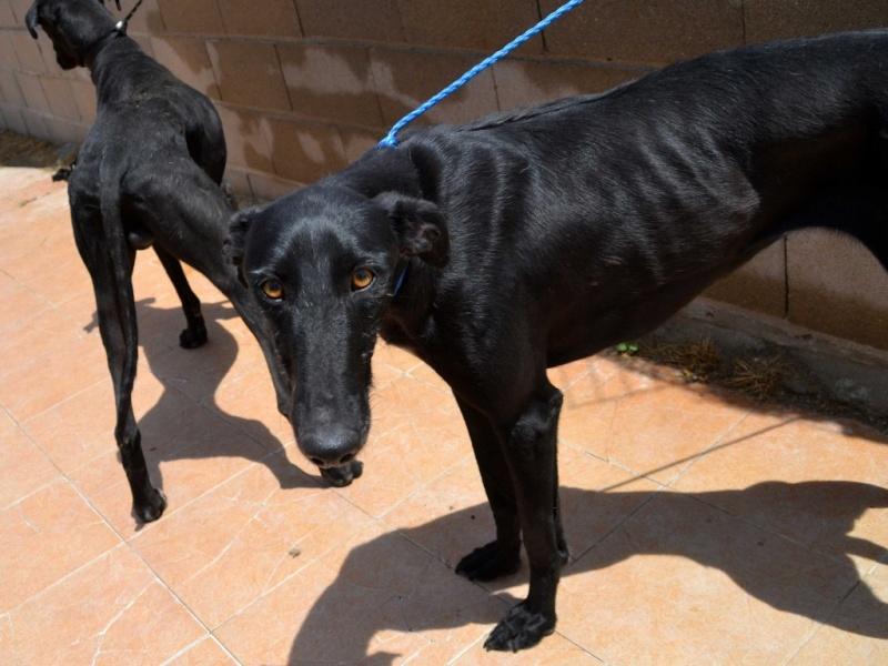 Perla, galga noire, 1 an 1/2  Scooby France Adoptée  Dsc_0227