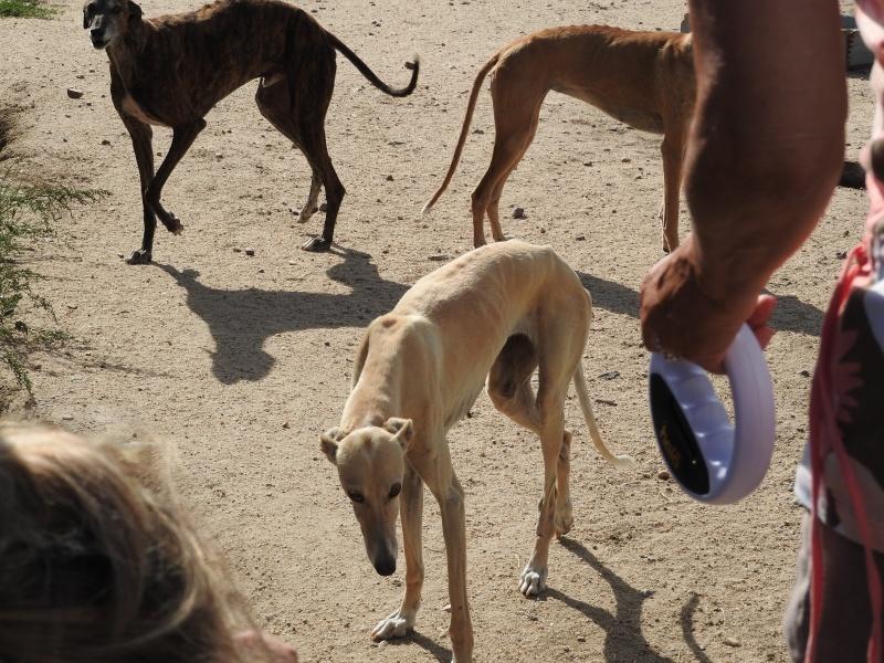 Palomita, 3, 4 ans galga crème.Scooby France adoptée  Dscn0311