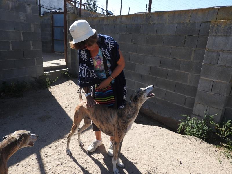 Andres, galgo bringé 2 ans.Adopté Dscn0511