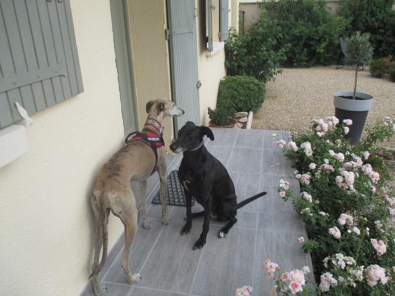 (Virtudes)LARA,  petite galga de 9 ans à l'adoption Scooby France Adoptée  - Page 10 Img_0511