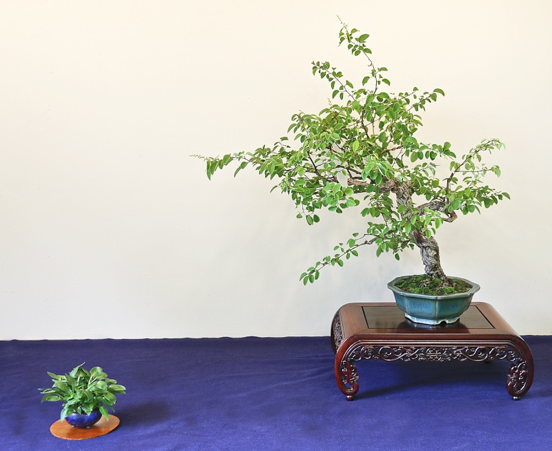 EARY SUMMER BONSAI DISPLAY Berche10