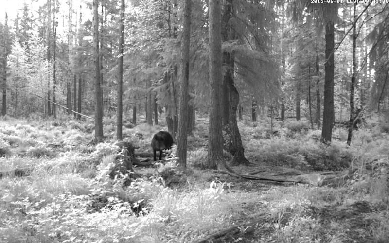 Alataguse Bear Cam 2013 - Page 7 Vlcsna11