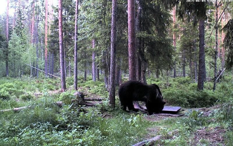 Alataguse Bear Cam 2013 - Page 7 Vlcsna15