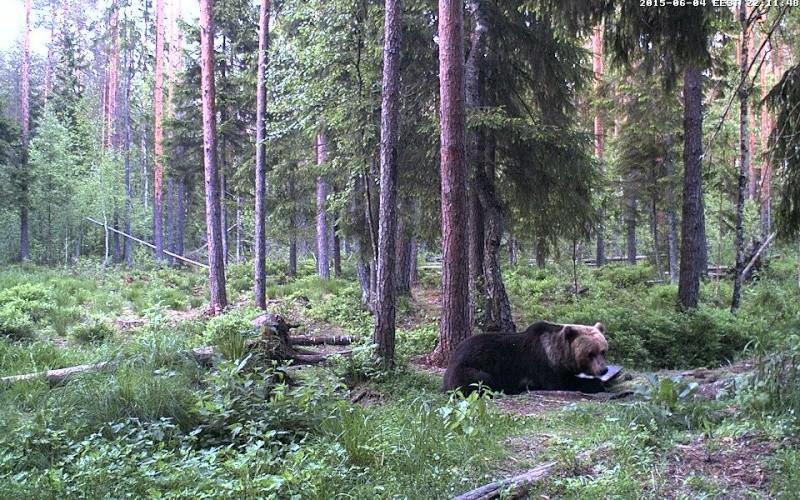 Alataguse Bear Cam 2013 - Page 7 Vlcsna16
