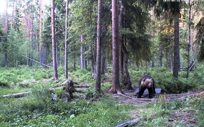 Alataguse Bear Cam 2013 - Page 7 Vlcsna17