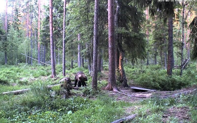 Alataguse Bear Cam 2013 - Page 7 Vlcsna20