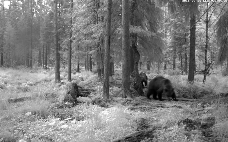 Alataguse Bear Cam 2013 - Page 7 Vlcsna21