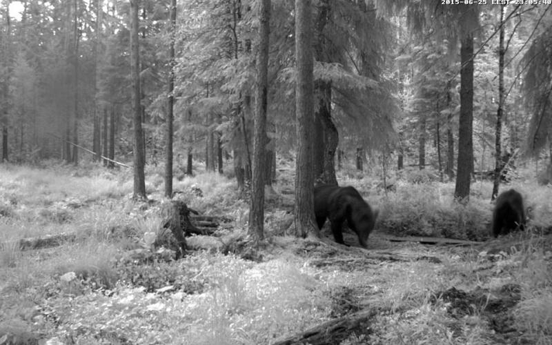 Alataguse Bear Cam 2013 - Page 7 Vlcsna22