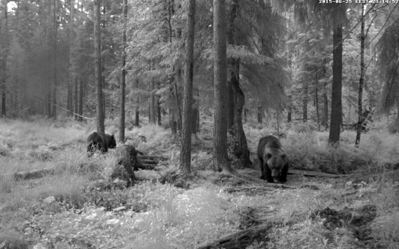 Alataguse Bear Cam 2013 - Page 7 Vlcsna25