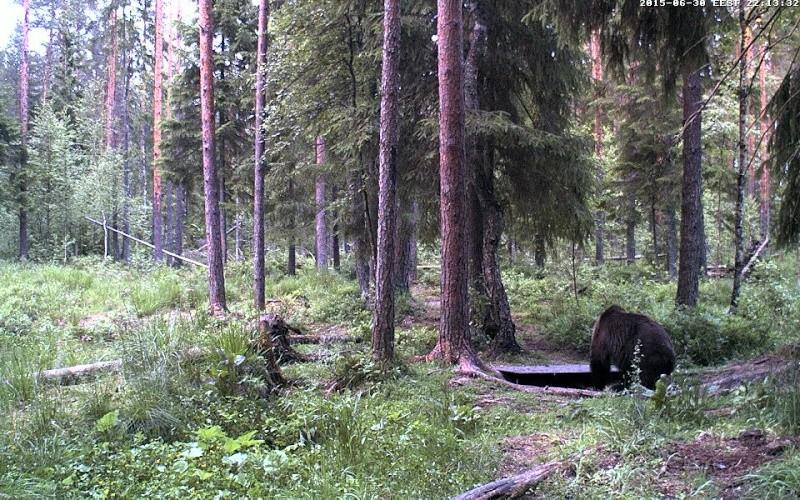 Alataguse Bear Cam 2013 - Page 7 Vlcsna28