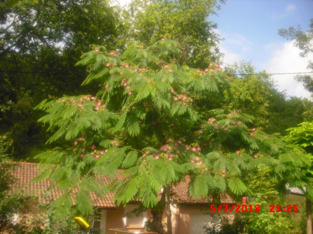 Albizia(ou arbre a soie) - Page 4 Cimg0115