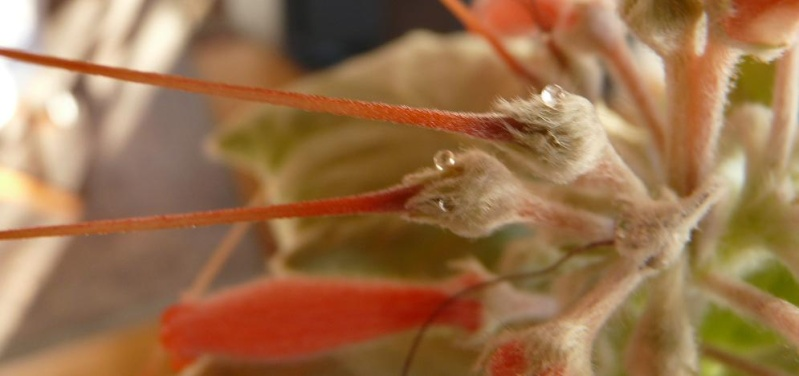 Evolution de mon Rechsteineria leucotricha [maintenant Sinningia leuchotricha] Rechst22