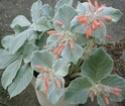 Sinningia leucotricha (ex Reichsteineria leucotricha) Rechst13