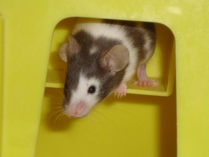 Zorro, petite souris mâle (Alsace) M_125110