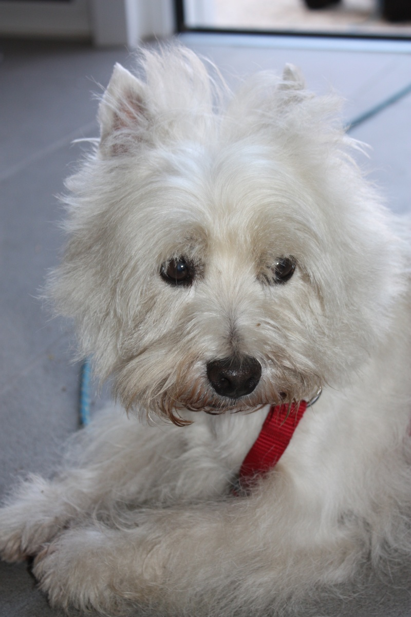 CHAMALO westie de 1 an 1/2 - Page 24 Img_5610