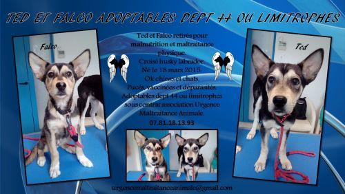 TED et FACLO Chiots x husky REFU44 500_7b10