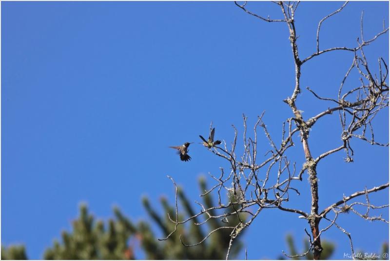Comportement d'un couple de colibris 1img_310