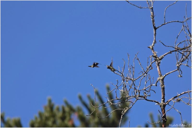 Comportement d'un couple de colibris 1img_311