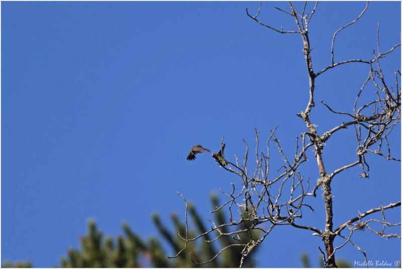 Comportement d'un couple de colibris 1img_312