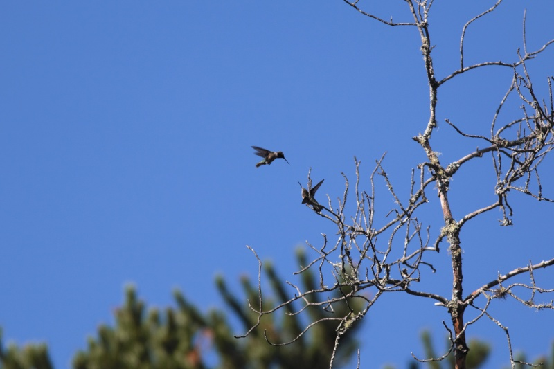 Comportement d'un couple de colibris 1img_313
