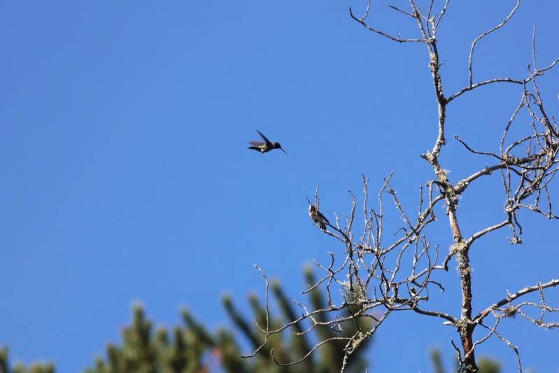 Comportement d'un couple de colibris 1img_314