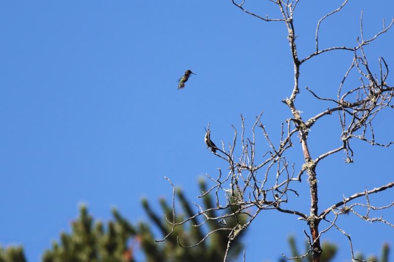 Comportement d'un couple de colibris 1img_315
