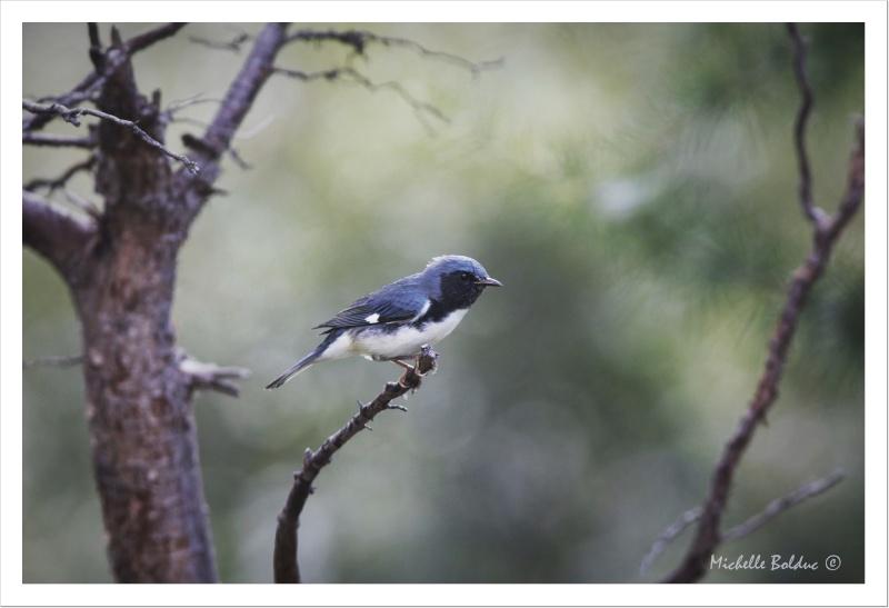 Paruline bleue, enfin :)) Aimg_412