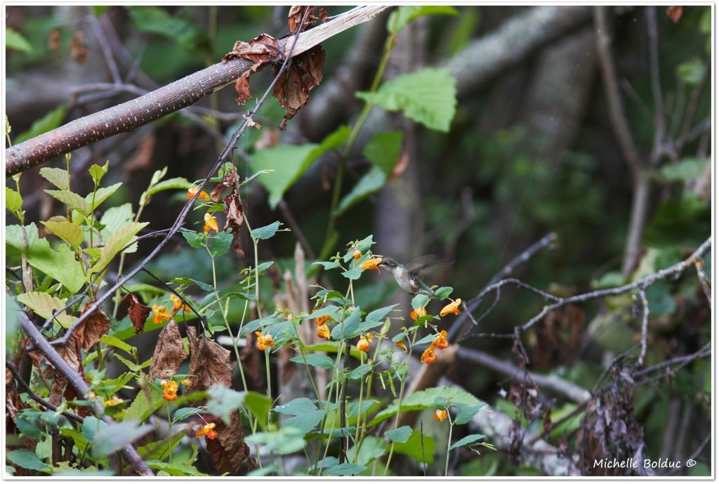 À 15 km dans le bois... une petite colibri !! Aimg_414