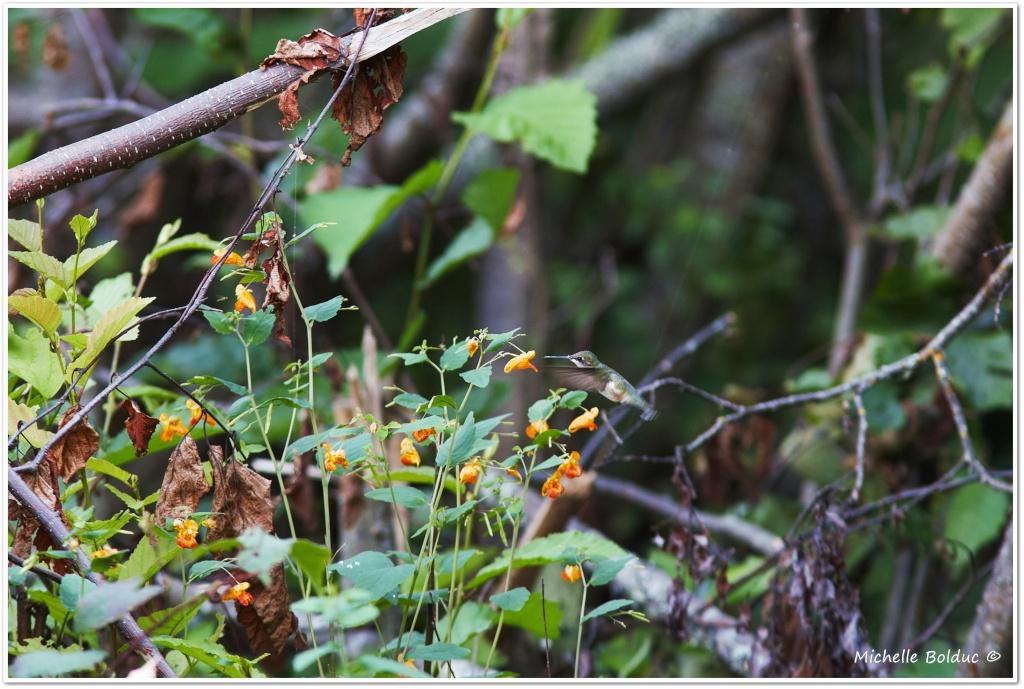 À 15 km dans le bois... une petite colibri !! Aimg_415